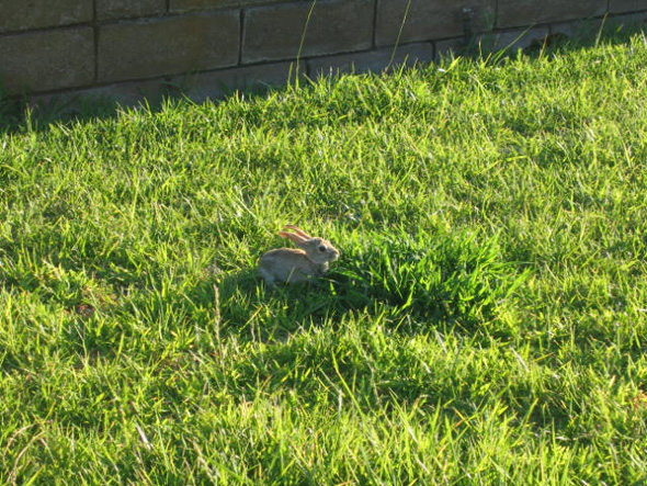 Backyard Baby Bunny in Boulder City, NV