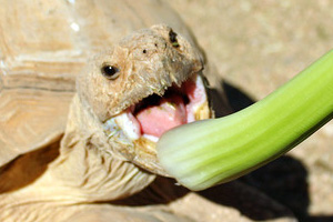 Desert Tortoise Eating in Boulder City, Nevada