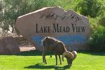 Grazing Bighorn Sheep in Boulder City, Nevada by Robert Kissel