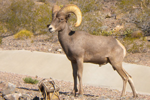 Bighorn Sheep in Boulder City, Nevada by Tom Watts
