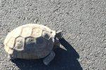 Brok Armantrout Tortoise in Boulder City, Nevada