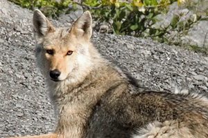 Coyote in Boulder City, Nevada