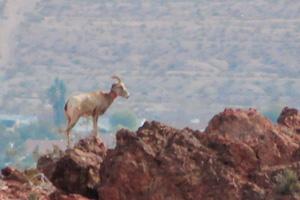 Bighorn Sheep Overlooking Boulder City, Nevada