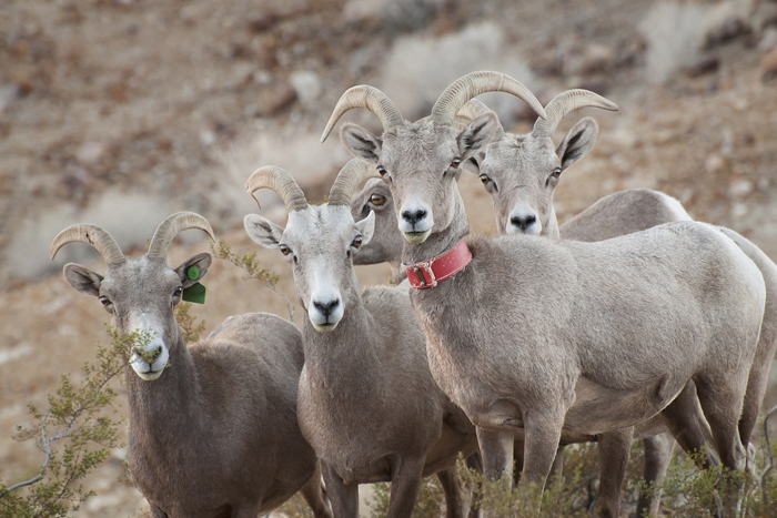 Bighorn Sheep in Boulder City, Nevada