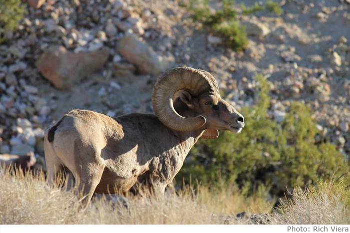 Rich Viera Big Horn Sheep in Boulder City, Nevada