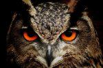 Great Horned Owl Boulder City Nevada
