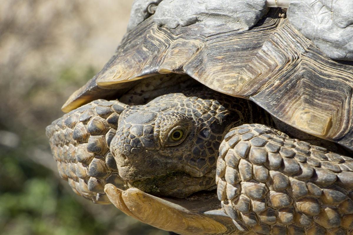 Desert Tortoise Boulder City Nevada