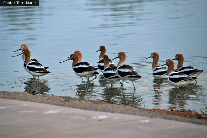 Fan Photo: Rare Bird Sighting of Avocets at Veteran's Memorial Park