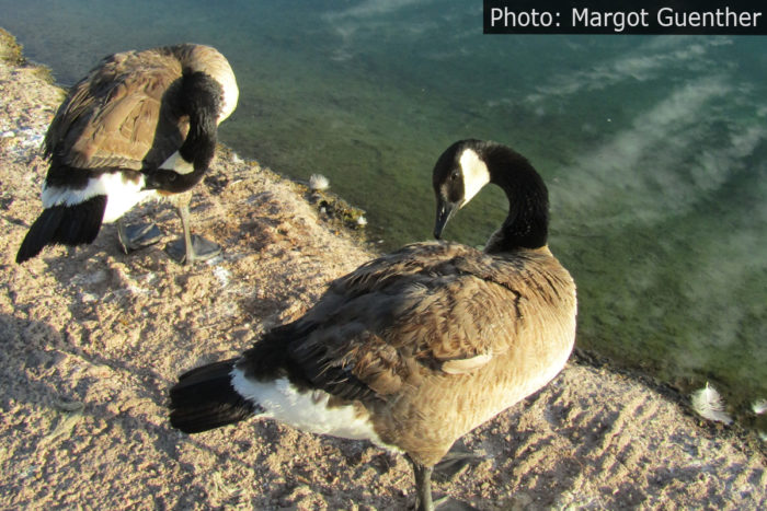 Fan Photo Canadian Geese Boulder City, NV