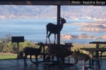 Kealoha Borge Fan Photo Sheep On Table Boulder City, Nevada