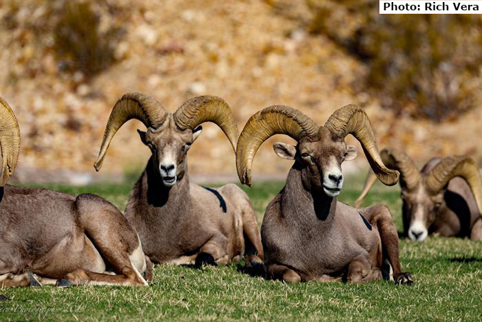 Fan Photo Rich Vera Sheep Boulder City, Nevada