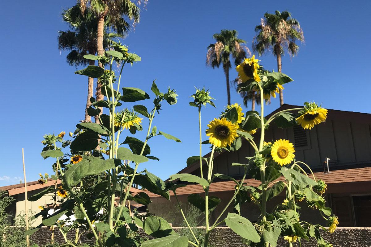 GimmellSunflowers
