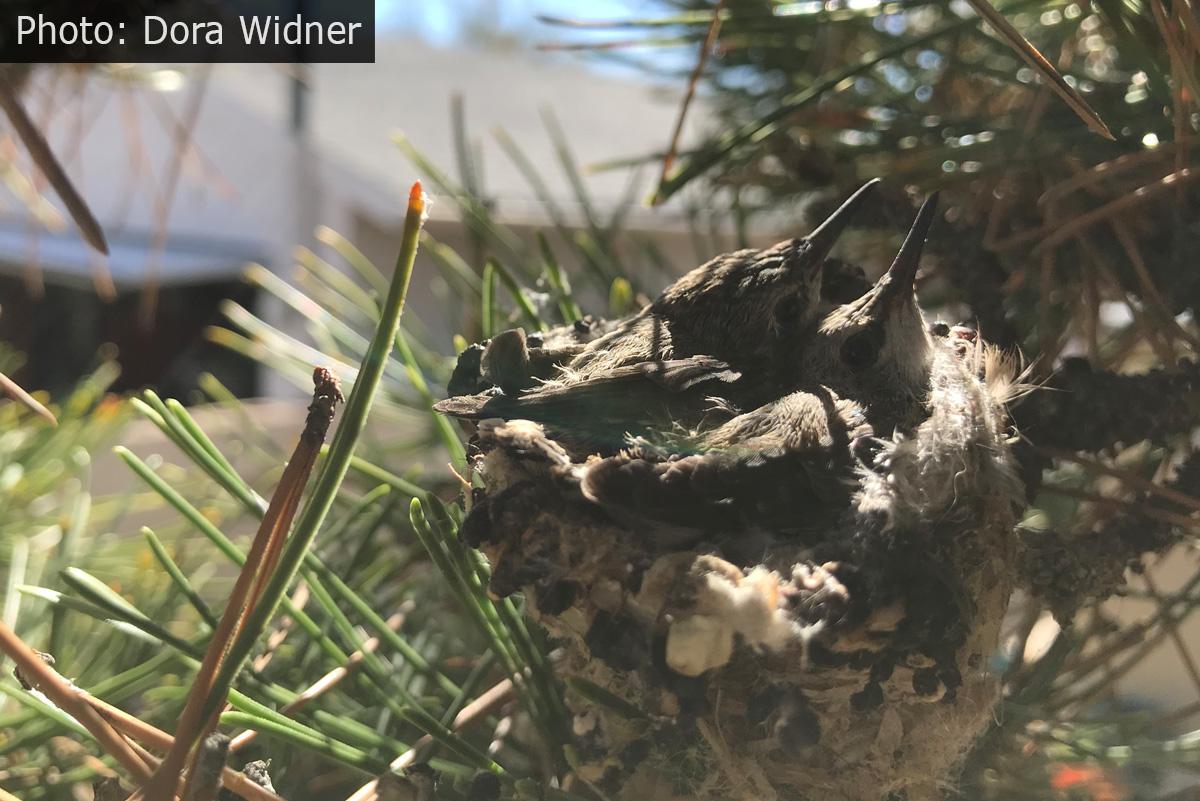 Fan Photo Dora Widner Baby Hummingbirds Boulder City, NV
