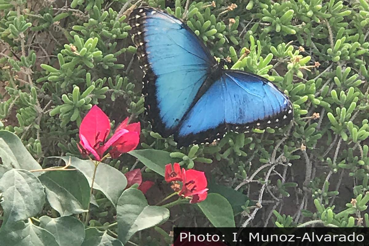 Fan Photo Isabella Butterfly Boulder City, Nevada