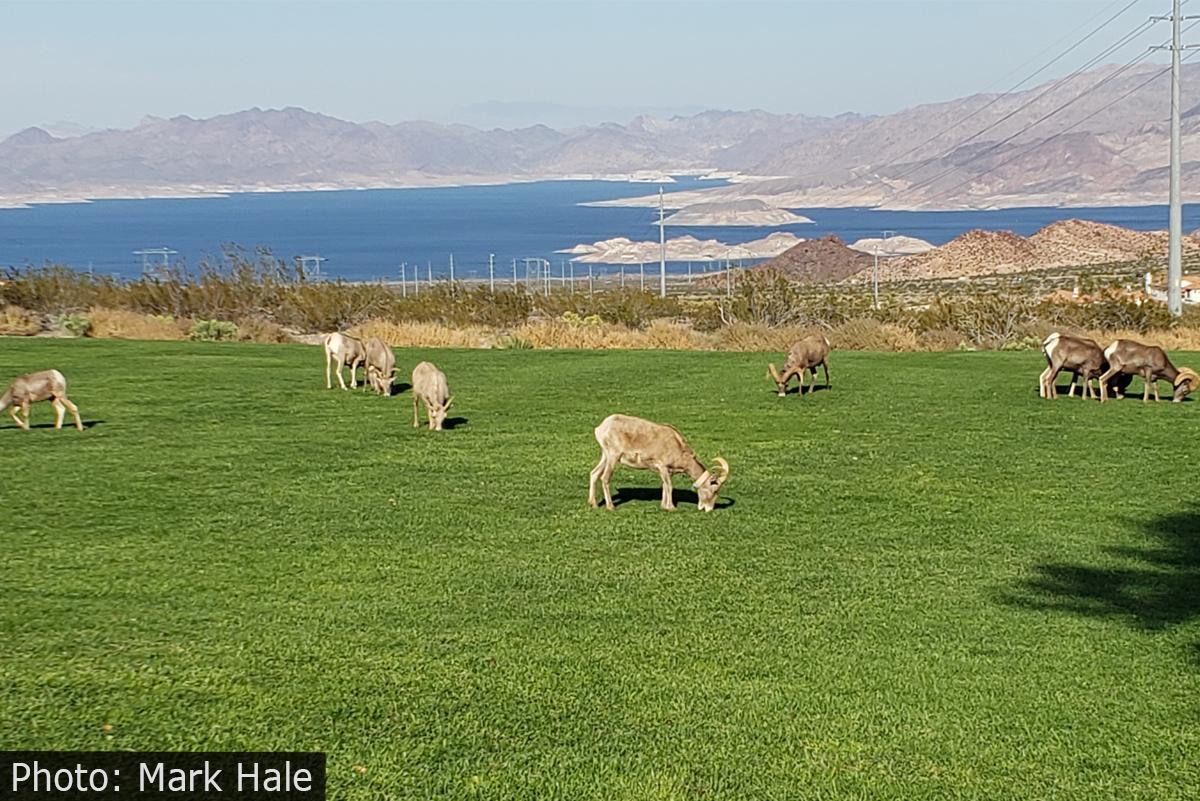 Fan Photo Mark Hale Sheep Hemenway Park Boulder City, NV