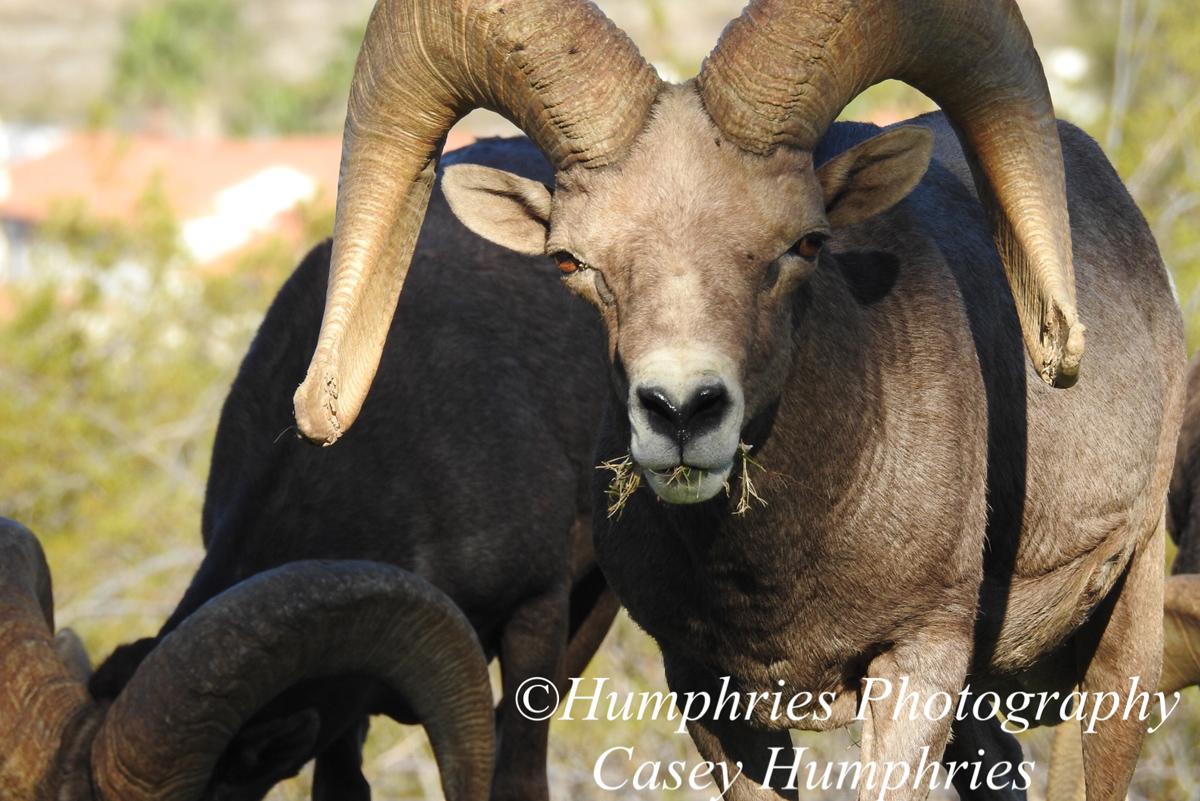 Fan Photo Sheep Casey Humphries Boulder City, NV