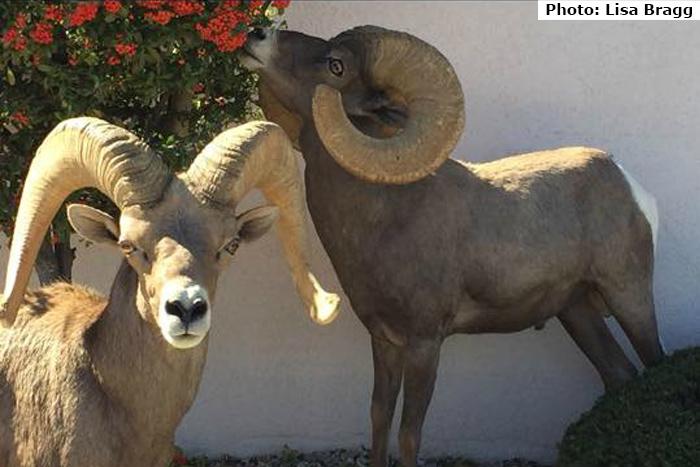Fan Photo Sheep Lisa Bragg Boulder City, NV