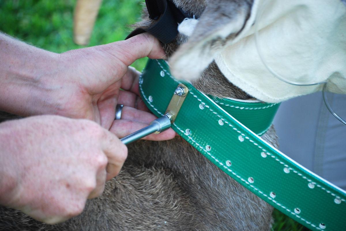Hemenway dart & collar Nov 2010 060-2