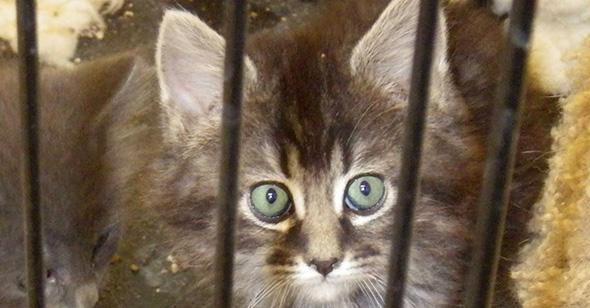 Adoptable Kittens in Boulder City, NV