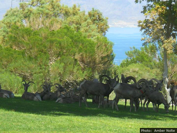 Big Horn Sheep in Boulder City, NV by Amber Nolte