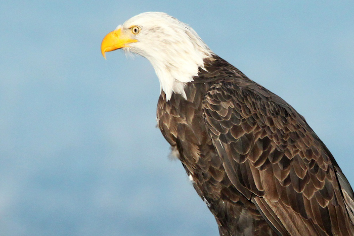 About Bald Eagles On American Eagle Day