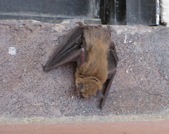 Bat in Boulder City, NV