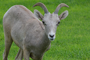 Young Big Horn Sheep in Boulder City, Nevada