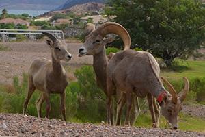 Bighorn Sheep Grazing near Boulder City, Nevada