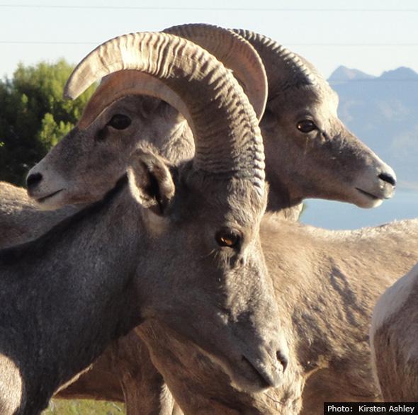 Bighorn Sheep in Boulder City, Nevada by Kirsten Ashley