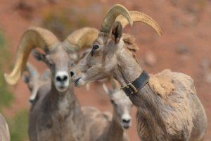 Big Horn Sheep in Boulder City, Nevada