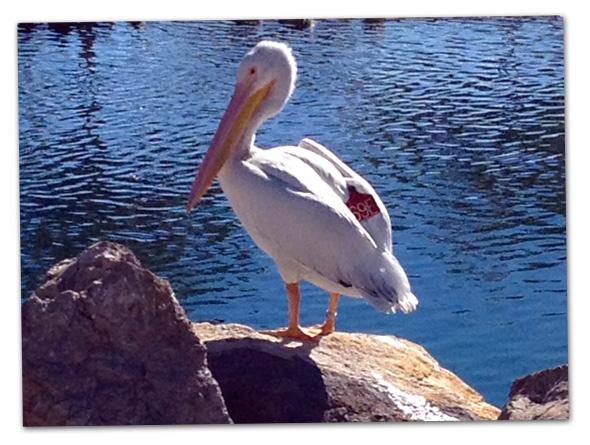 Pelican in Boulder City, Nevada