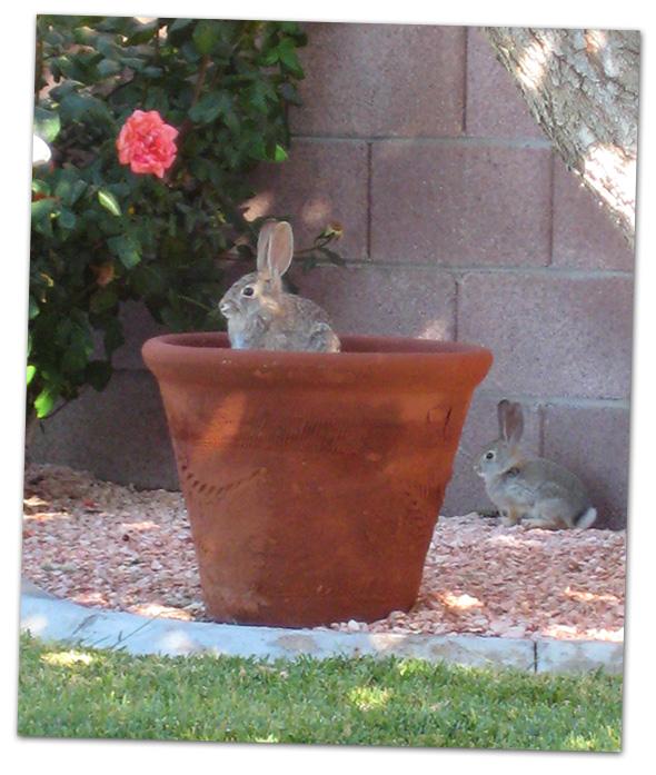 Rabbit in Pot in Boulder City, Nevada