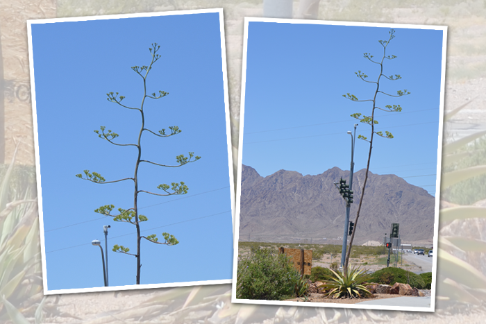 Century Plant in Boulder City, Nevada