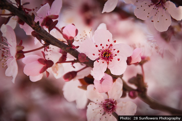 Cherry Blossoms in Boulder City, Nevada