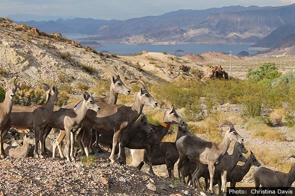Bighorn Sheep in Boulder City, Nevada by Christina Davis