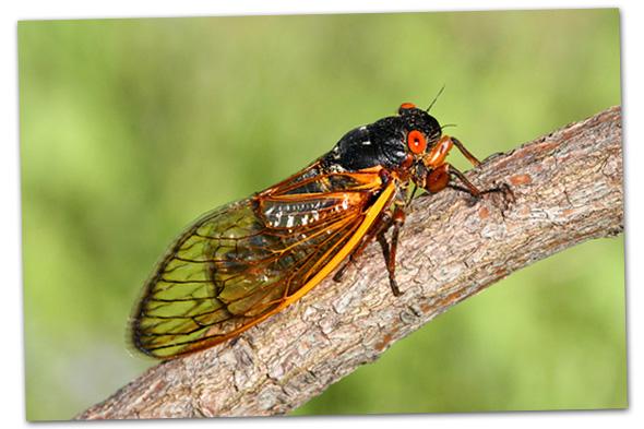 Cicadas in Boulder City, Nevada