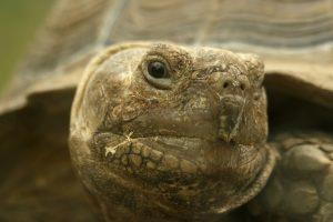 Desert Tortoise near Boulder City, Nevada