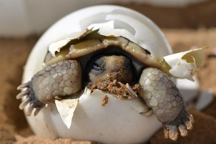 Desert Tortoise Hatchling in Boulder City, Nv