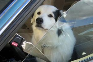 Dog In Car in Boulder City, NV