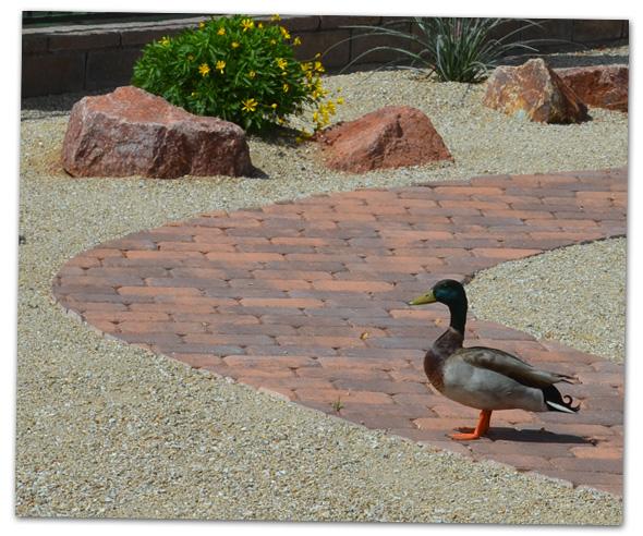 Duck in Boulder City, Nevada Backyard