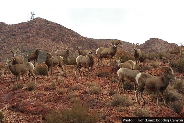 Bighorn Sheep by FlightLinez Bootleg Canyon near Boulder City, Nevada