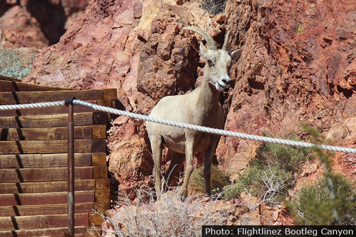 The Bighorn Sheep Are Back