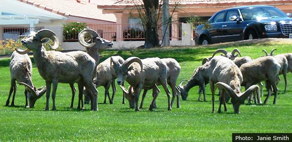 Fan Photo of Bighorn Sheep in Boulder City, Nevada by Janie Smith