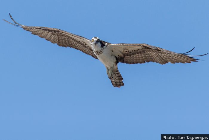 Hawk in Boulder City, Nevada by Joe Tagavegas