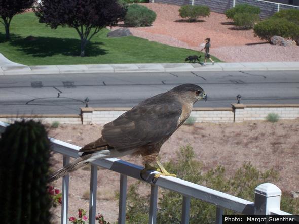 Fan Photo Margot Guenther Hawk in Boulder City, NV