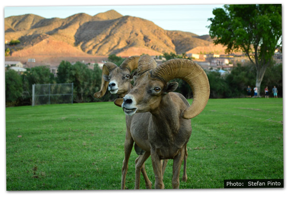 Fan Photo by Stefan Pinto Bighorn Sheep in Boulder City, Nevada