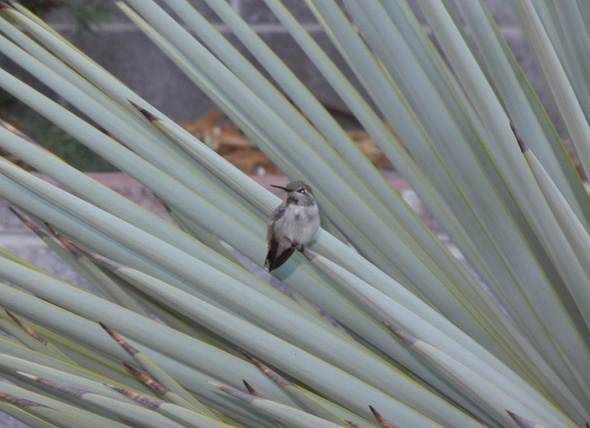 Fan Photo Hummingbird in Boulder City, Nevada
