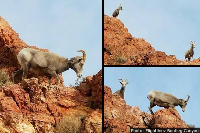Flightlinez Bighorn Sheep in Boulder City, Nevada