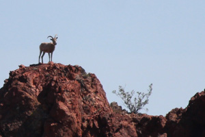 Bighorn Sheep at Bootleg Canyon