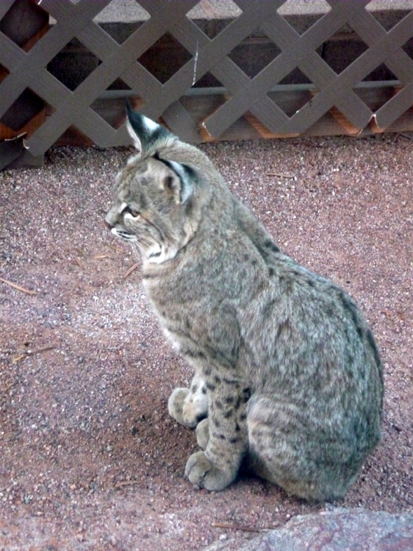 Bobcat in Boulder City, Nevada